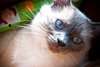 Cats Christmas Portraits 2010-0294-3