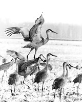 Sandhill Cranes Brownstown Indiana Feb 2017-3-2