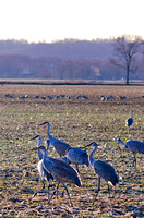 Sandhill Cranes Brownstown Indiana Feb 2017-6