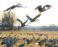 Sandhill Cranes Brownstown Indiana Feb 2017-3457-2