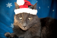 Cats Christmas Portraits 2010-0181-3