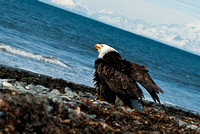 Eagle at Anchor Point-0097