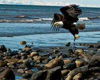 Eagle In Flight Over Anchor Point Beach-0248