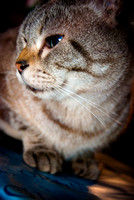 Cats Christmas Portraits 2010-0566-2