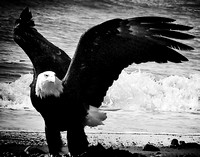 Eagle of Anchor Point_