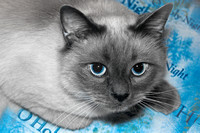 Cats Christmas Portraits 2010-0561-2
