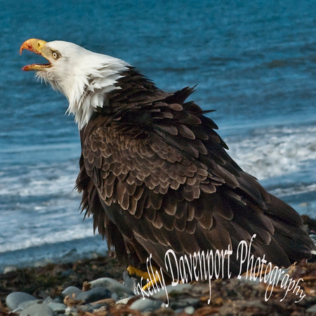 Eagle at Anchor Point-0090